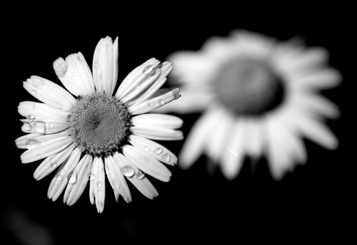 blog_Flowers_6109bw