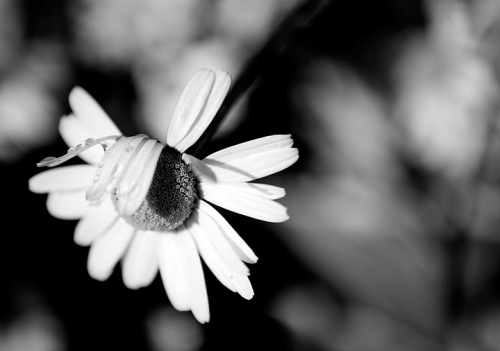 blog_Flowers_6122bw